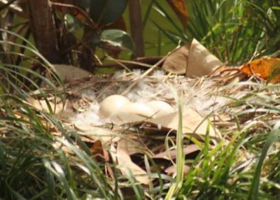 Cisne de Cuello Negro (Cygnus melancoryphus)